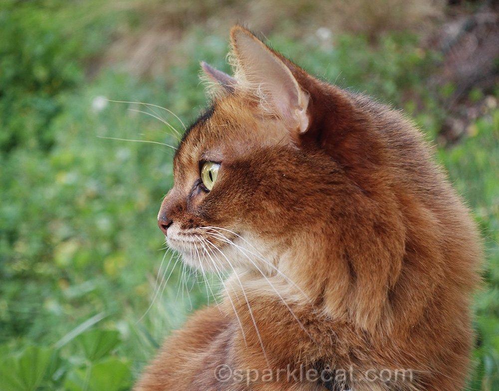 outside profile of somali cat