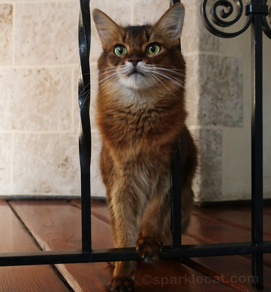Somali cat with paw on iron railing