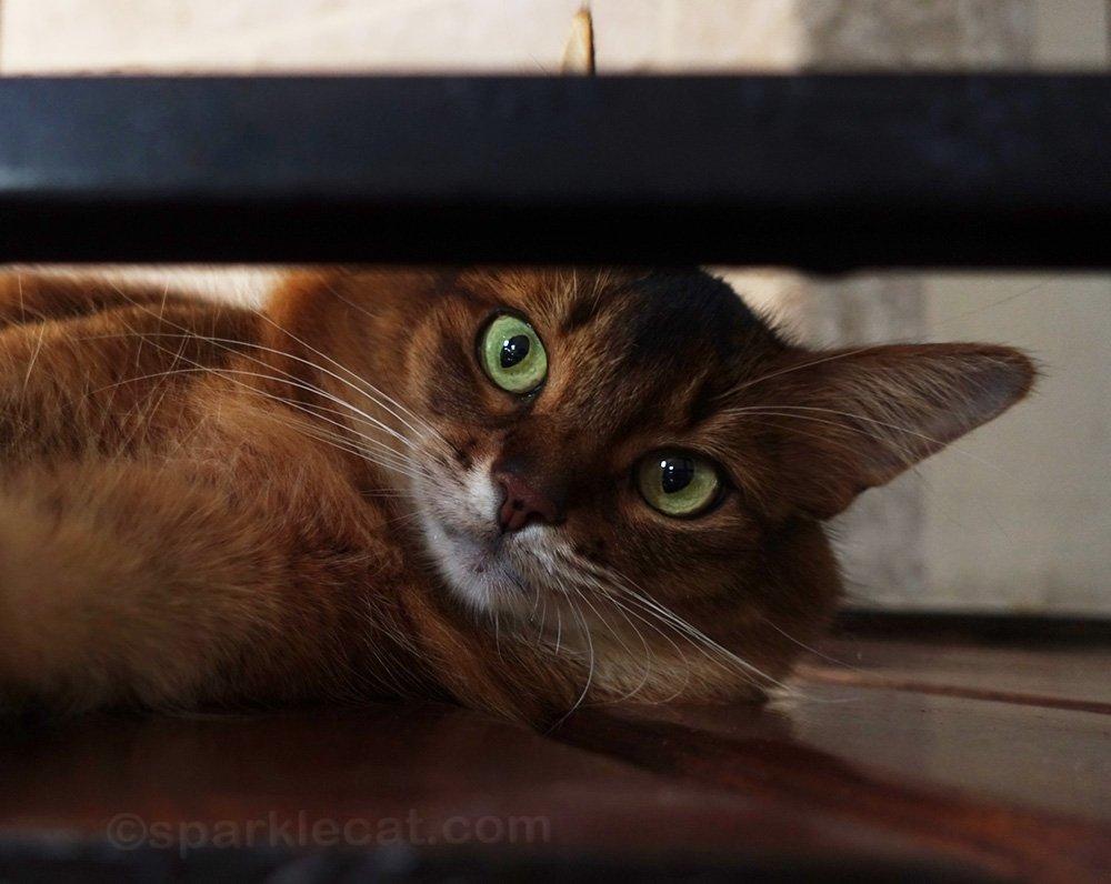 somali cat looking through iron bars in turret