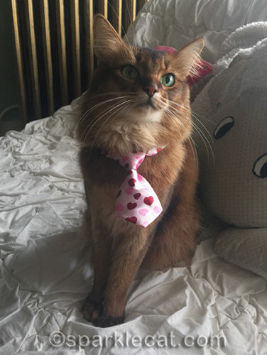 somali cat wearing tie with hearts