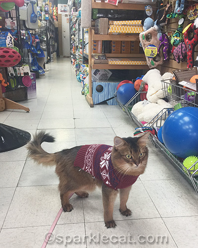 somali cat in sweater at pet store