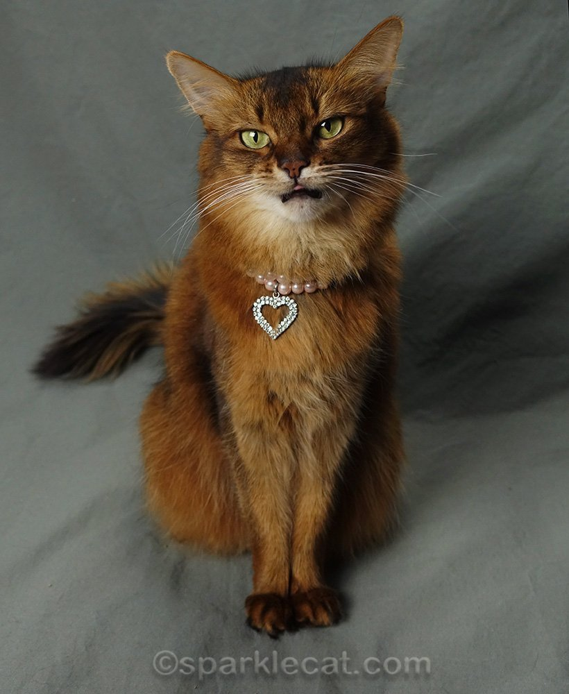 somali cat showing sliver of tongue in photo session
