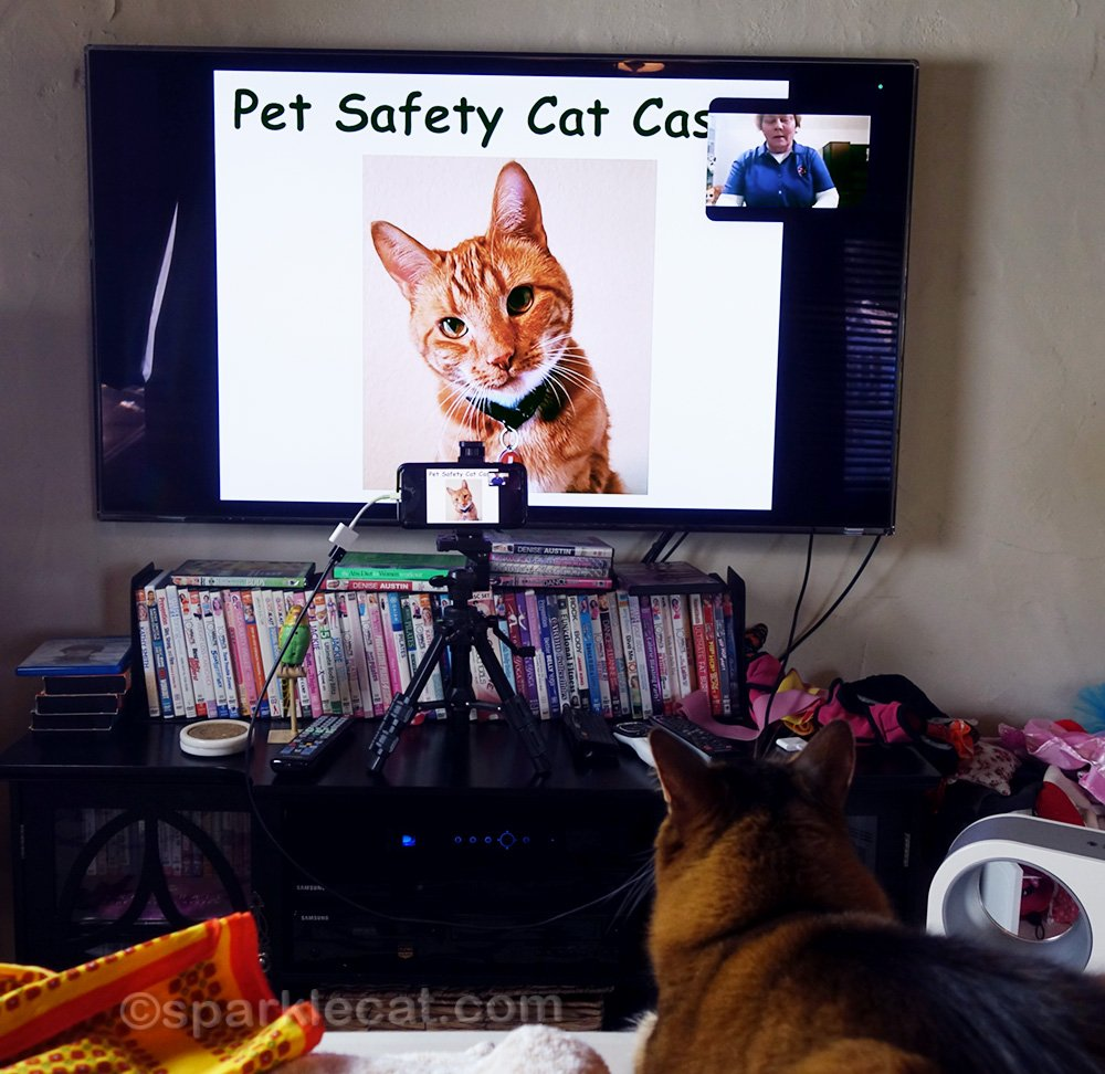 Somali cat watching Zoom class introducing Pet Safety Cat Casey