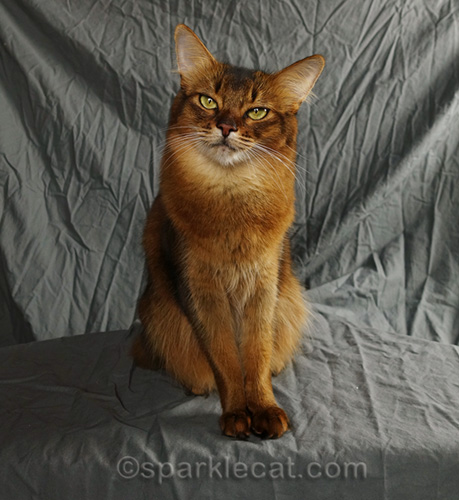 somali cat happy not to have opposable thumbs