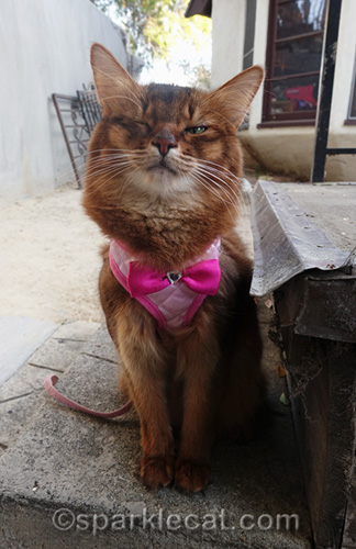 somali cat outside on harness with squinty eyes