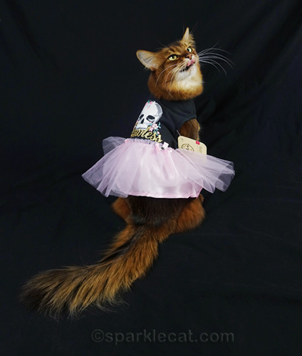 somali cat in dress with tulle skirt and tongue sticking out