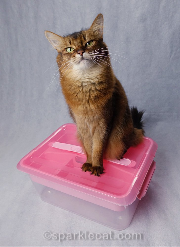 somali cat sitting on top of storage box
