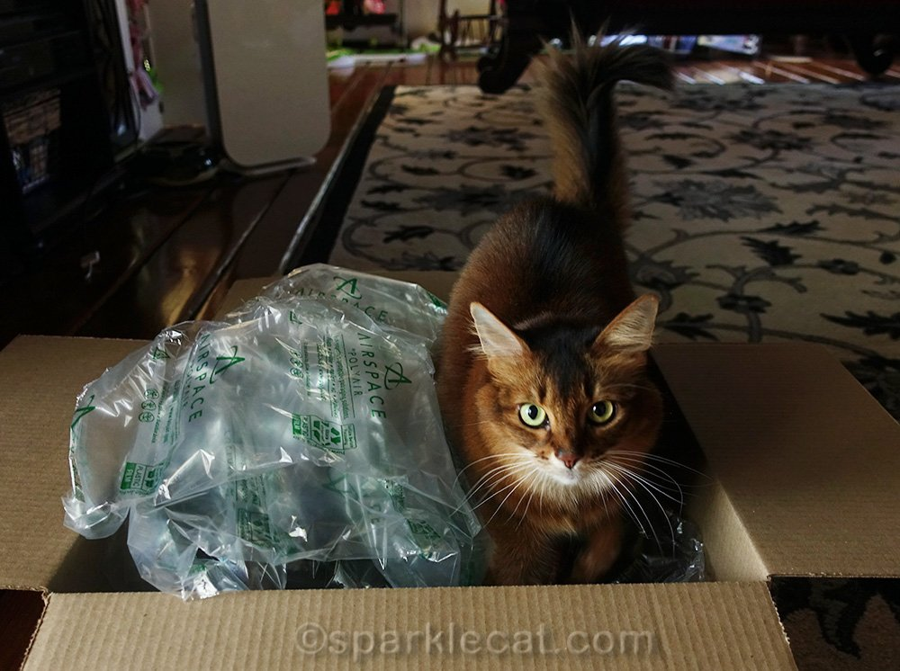 somali cat looking through Amazon Prime delivery box