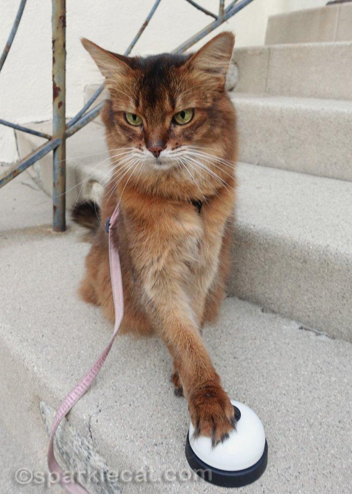 somali cat outside, ringing a desk bell