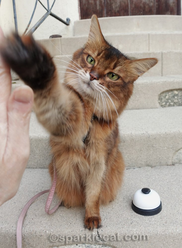 somali cat giving a high five outside