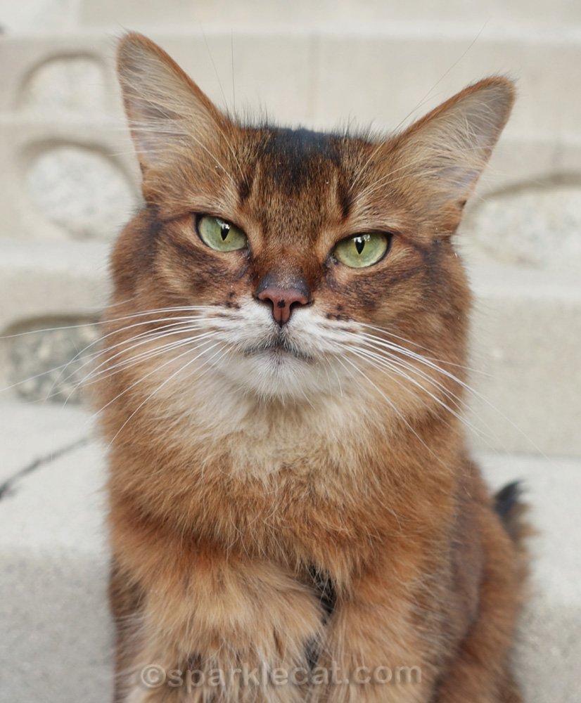 Close up of Somali cat outside