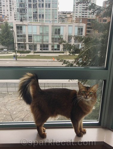 somali cat in Vancouver hotel room window