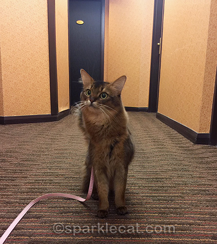 somali cat on walk in hotel hallway