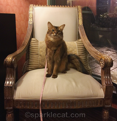 somali cat sitting on chair in hotel hallway