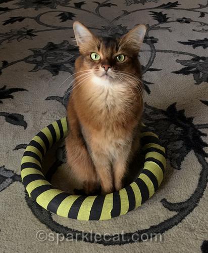 somali cat sitting in hoop