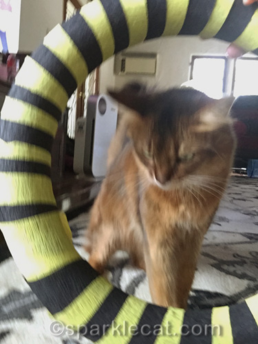 somali cat supervising placement of hoop
