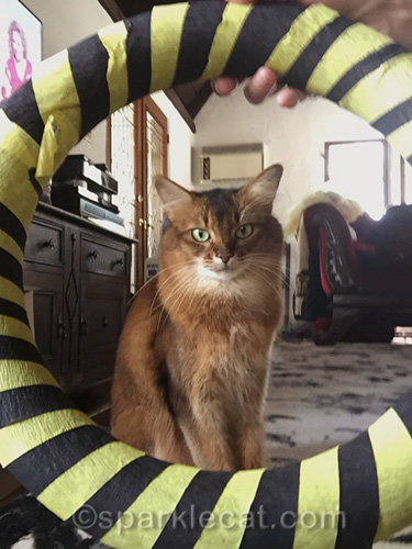 somali cat doing a hoop selfie