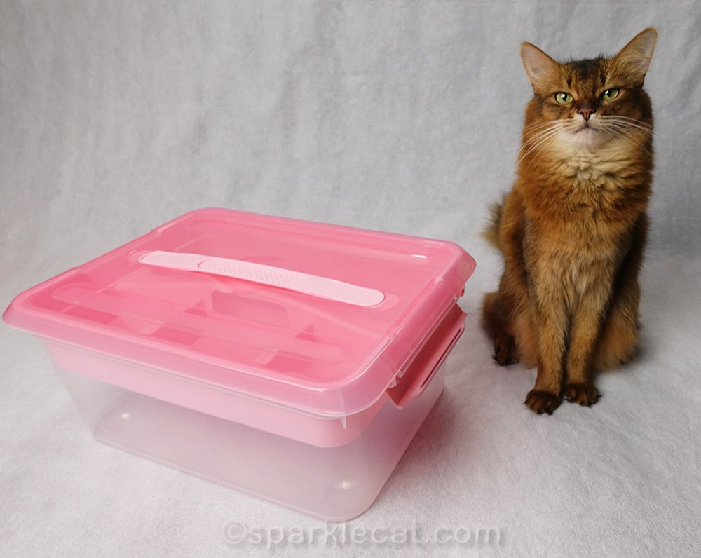 somali cat with wardrobe box