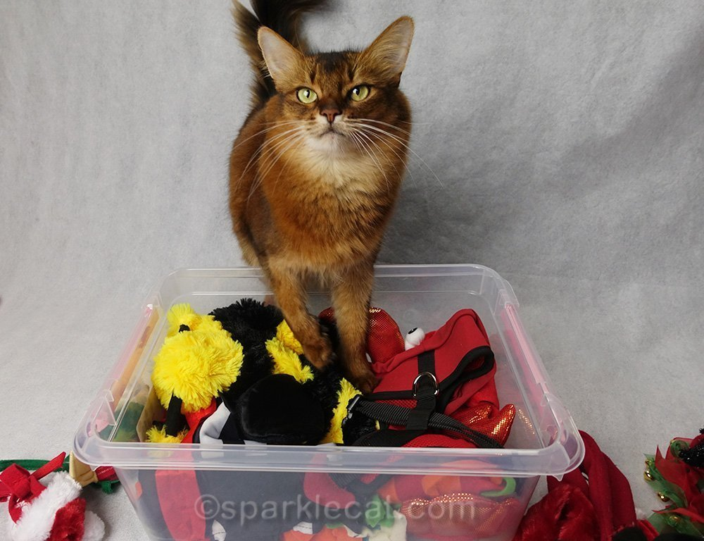 somali cat helping fill wardrobe box
