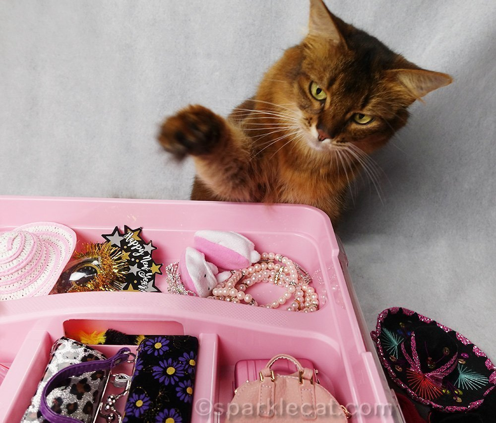somali cat looking at her accessories drawer