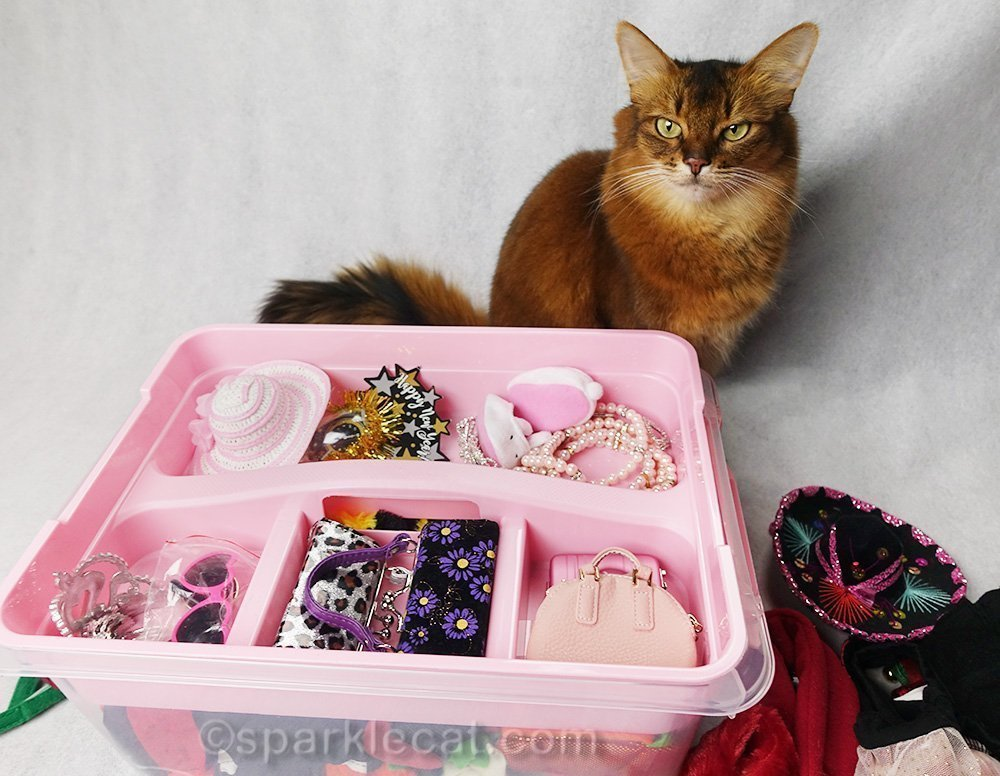 somali cat proudly displaying accessories