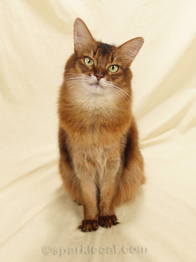 somali cat with head tilt