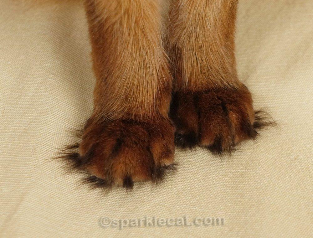 somali cat tufty toes