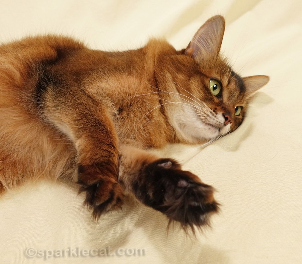 somali cat lying down and making happy paws