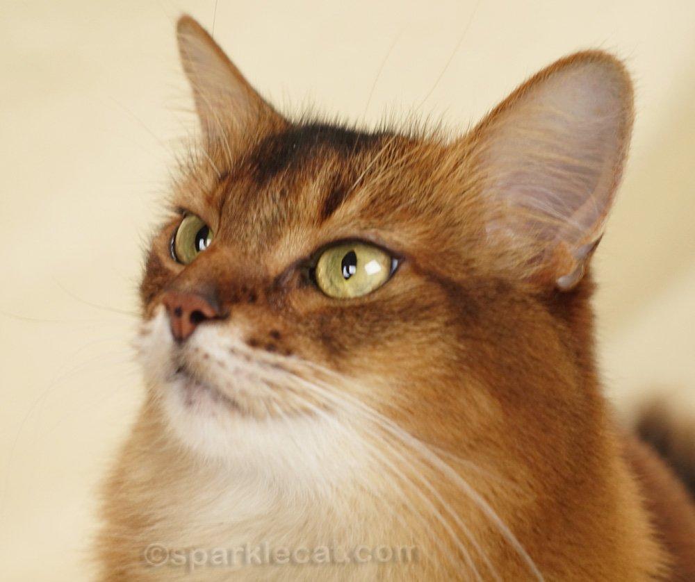 Somali cat three-quarters profile with tufty ears