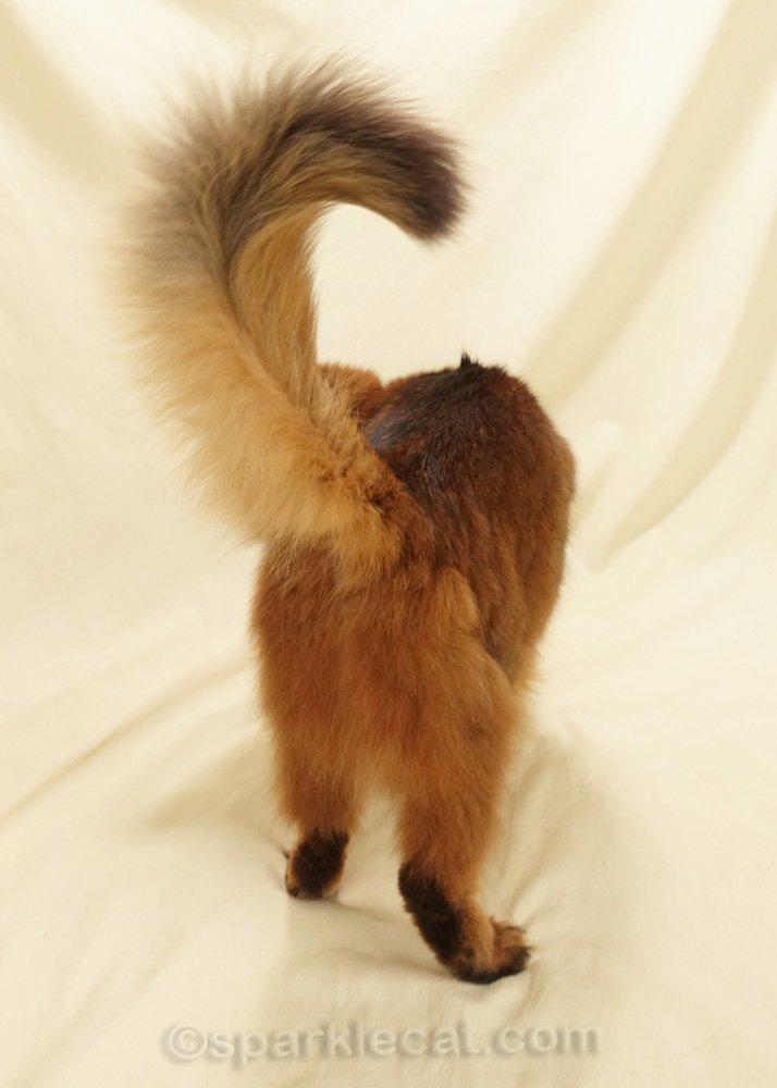 somali cat's fluffy pantaloons and tail