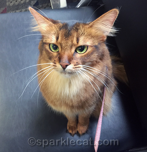 somali cat sitting on chair in airport boarding area