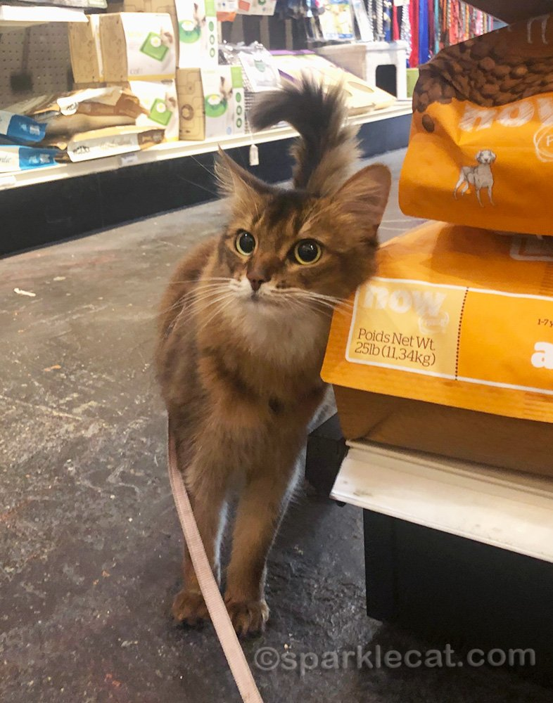 Somali cat rubbing on a bag of dog food