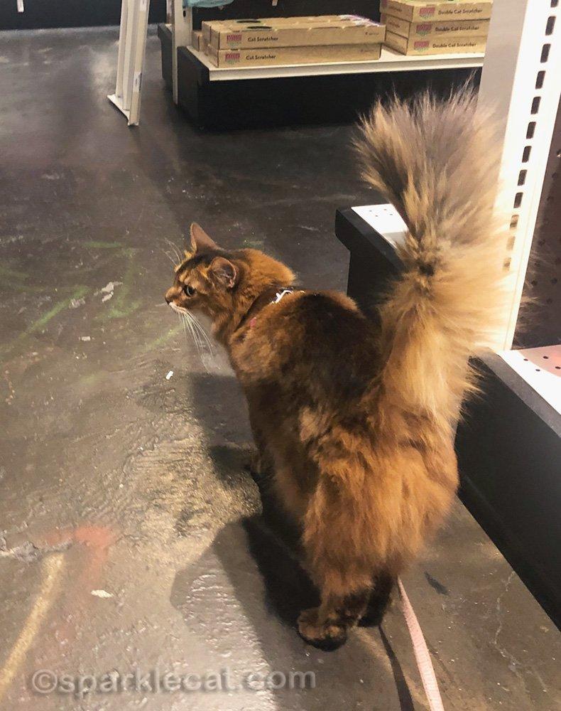 Somali cat walking around the pet shop