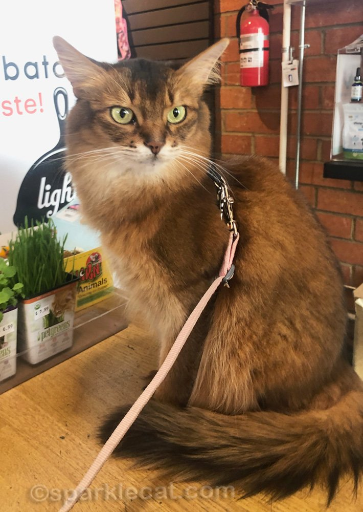 somali cat sitting on the counter at pet shop