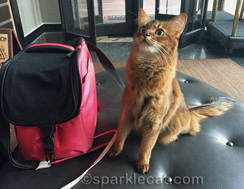 somali cat in hotel lobby looking up at people on mezzanine