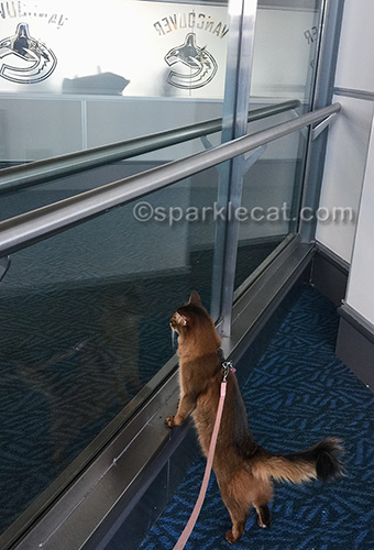 somali cat on leash at Vancouver International Airport
