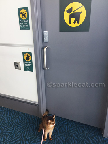 somali cat standing by dog washroom at Vancouver airport