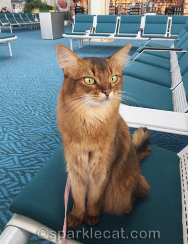 somali cat at gate, waiting for her plane to arrive