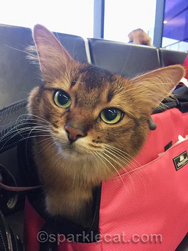 somali cat at gate at San Francisco airport