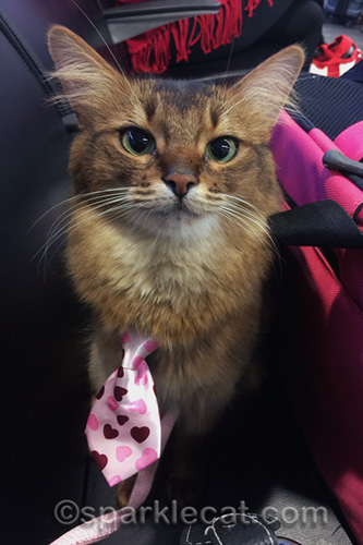 somali cat wearing a pink tie with hearts on her travel day