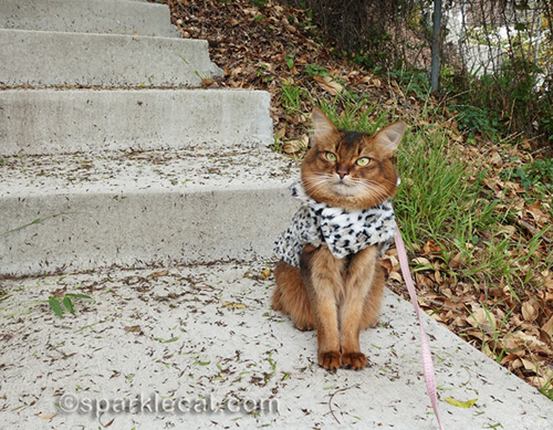 somali cat doing a backyard photo shoot in a leopard print coat
