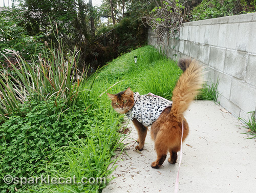 somali cat at end of backyard walkway