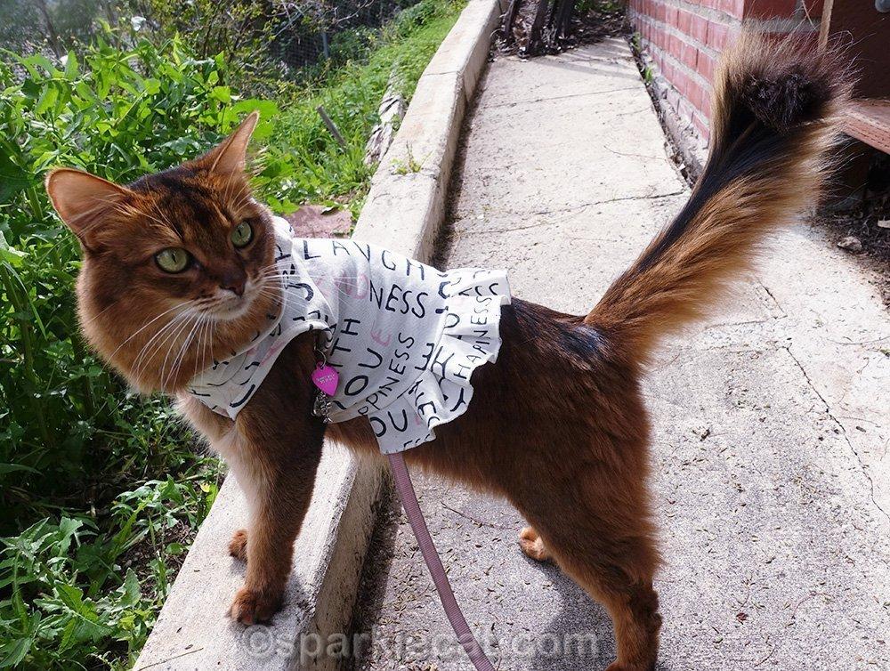 somali cat ready to explore the backyard