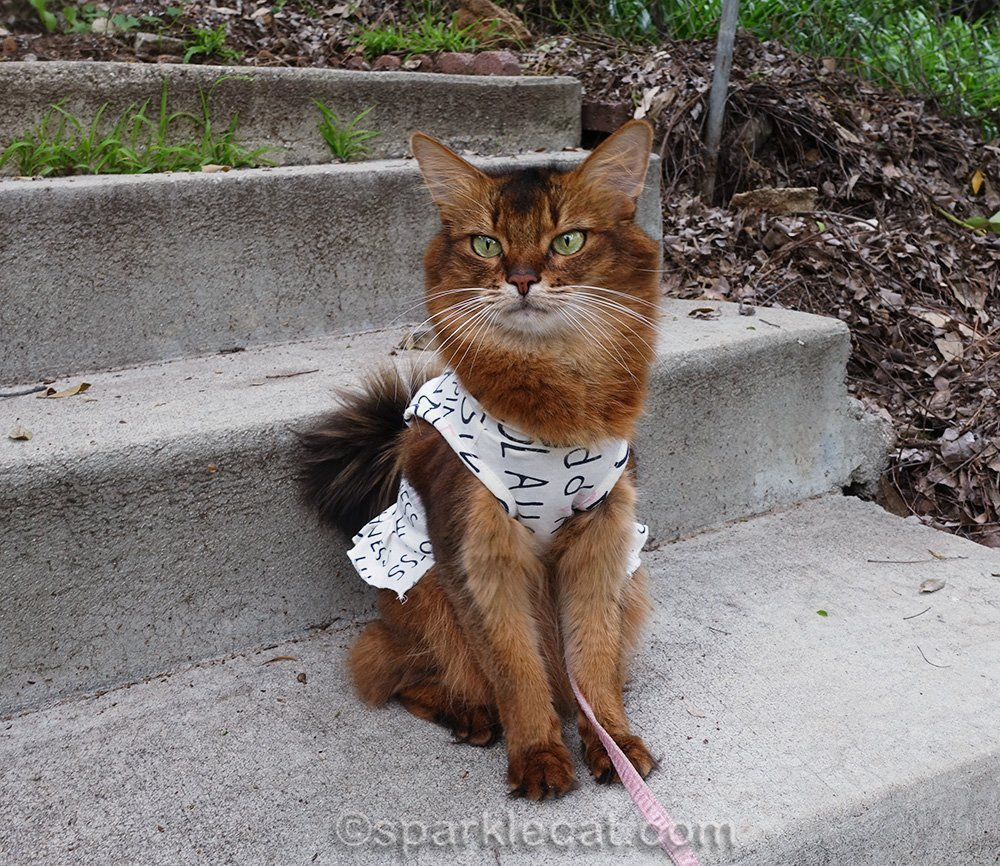 somali cat in hoodie, outside, sitting on concrete steps