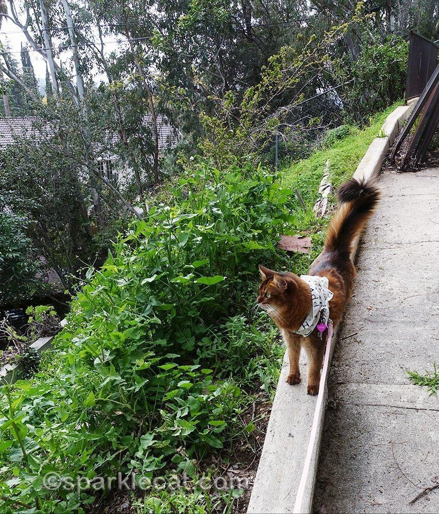 somali cat on ledge looking into backyard