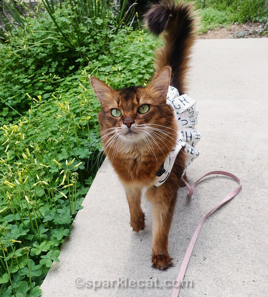 somali cat strolling on concrete pathway