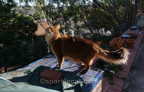 somali cat out back on a sunny day, looking at birds