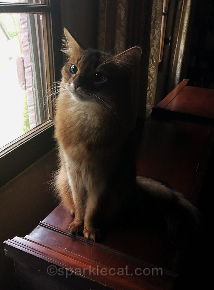 somali cat on China cabinet, looking out window and loving the view