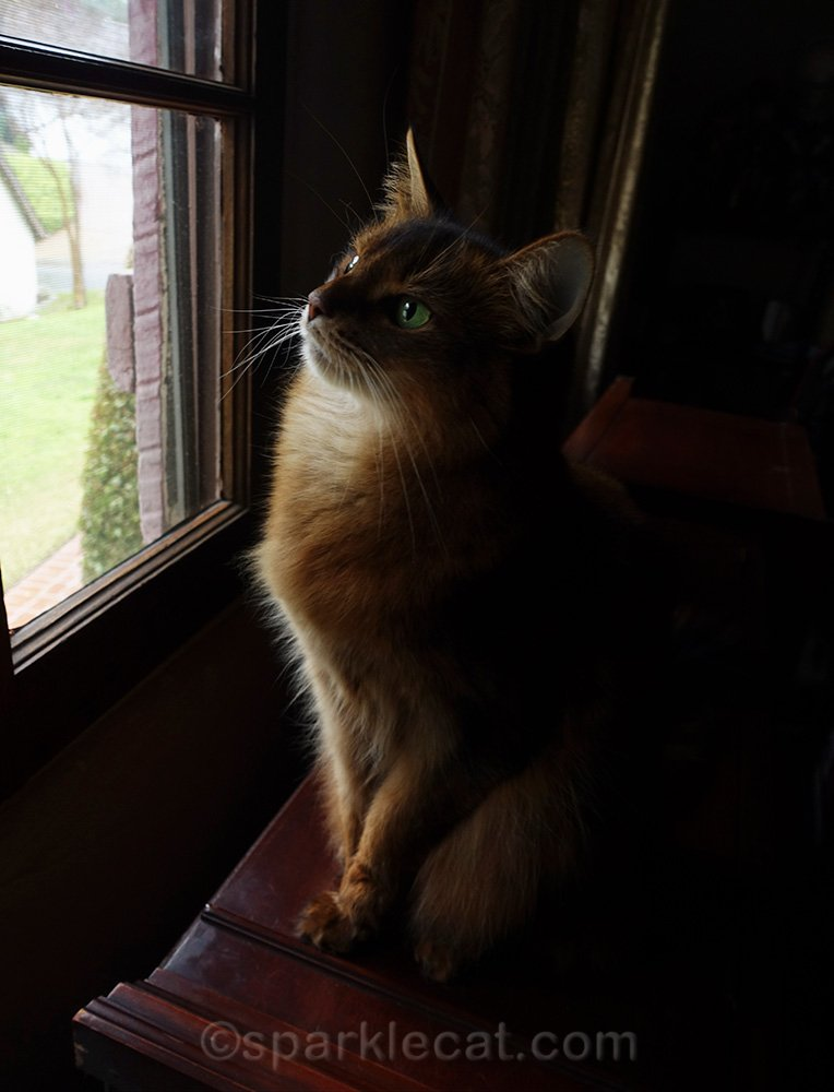 somali cat still enjoying the view