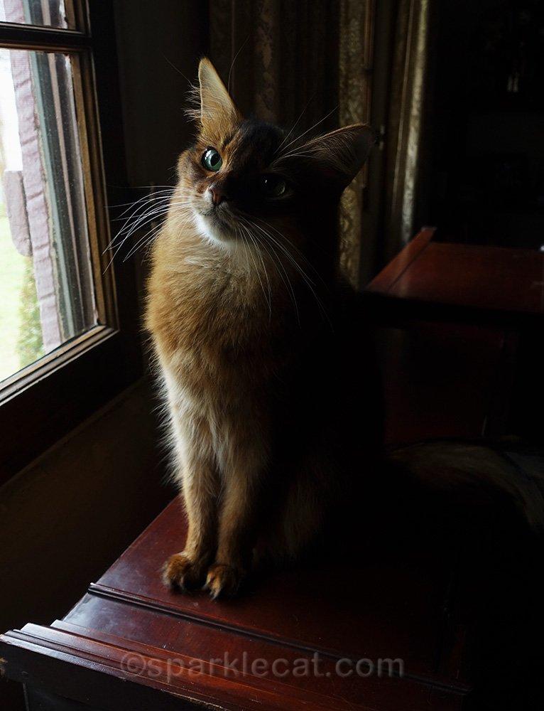 somali cat posing with window light